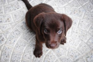 This is a picture of a cute brown puppy who seems very puzzled by this question.